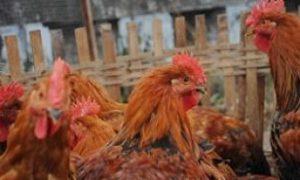 China Announces First Bird Flu Outbreak